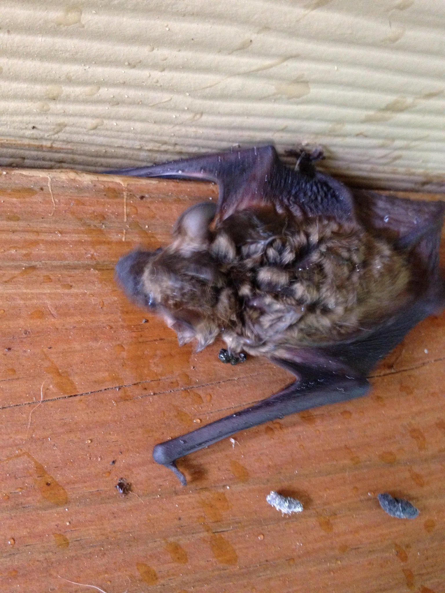 Close up pic of Bat Removal Job in Cumming GA