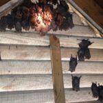 Roswell GA Bat Removal