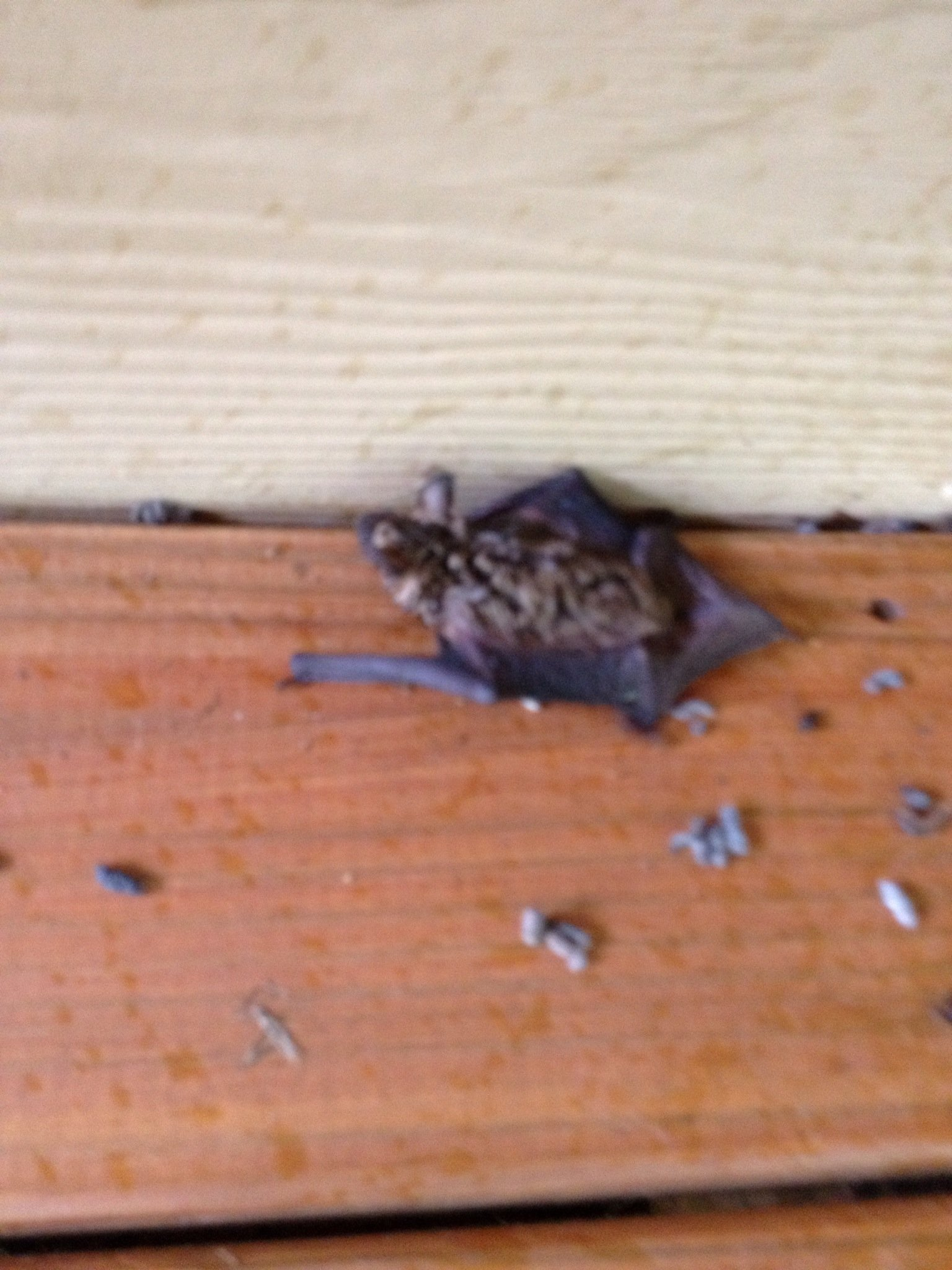Bats under deck in Cumming GA