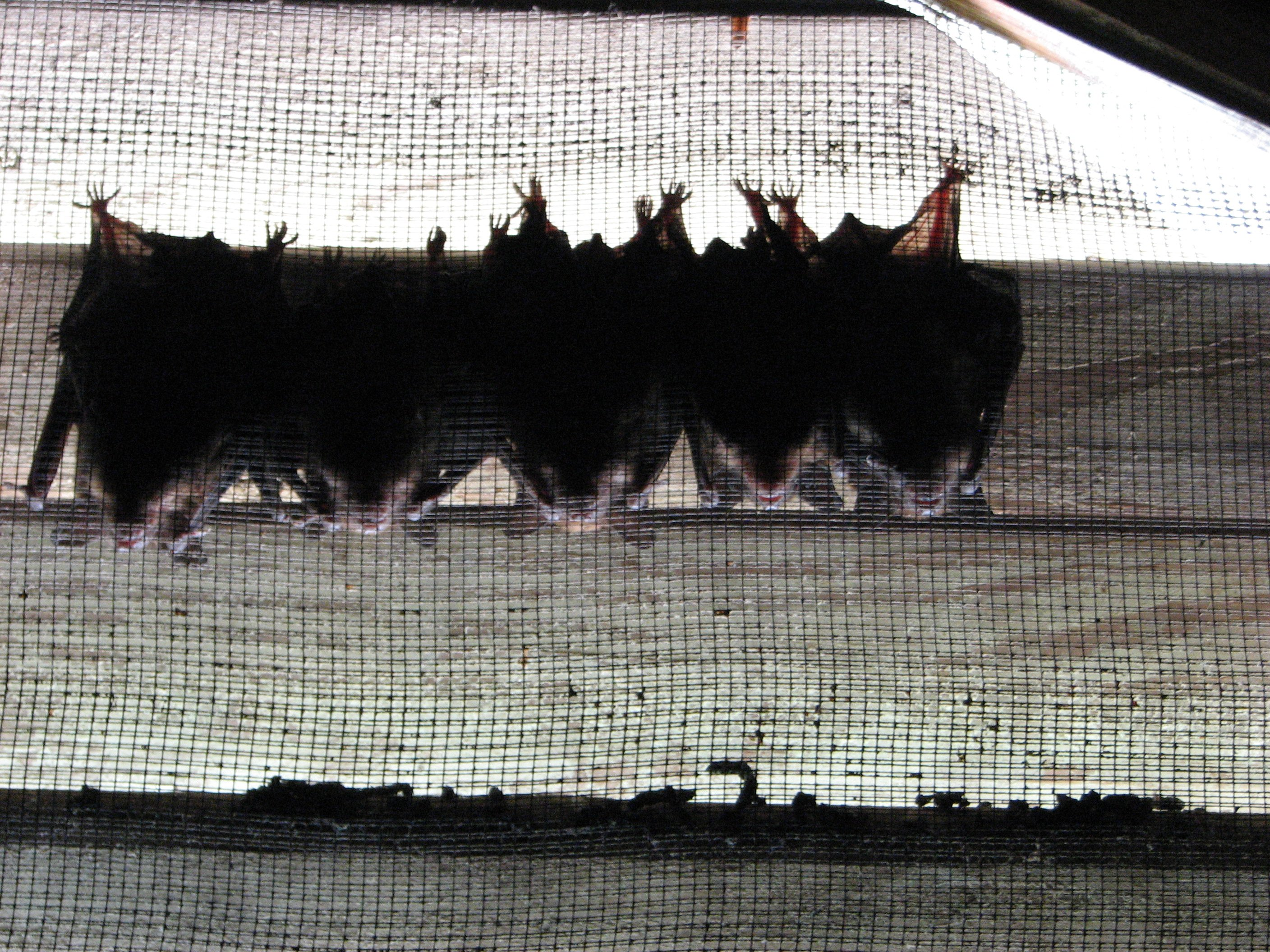 Bats in the gable vent