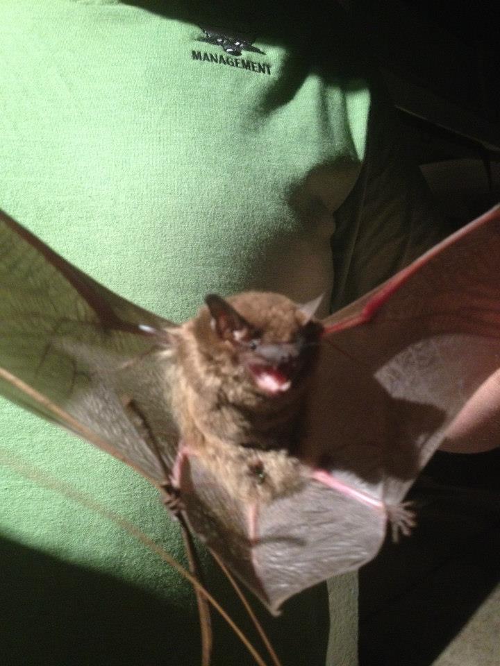 Brown Bat Removed in Alpharetta